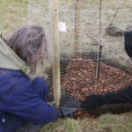 Burying the chicken mesh to keep out the rabbits